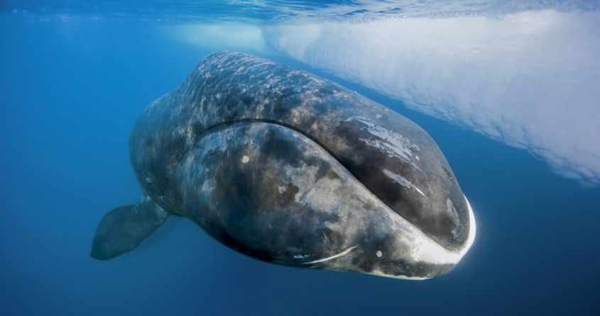 Bowhead whale rises to the surface of the sea. (Photo by Paul Nicklen)