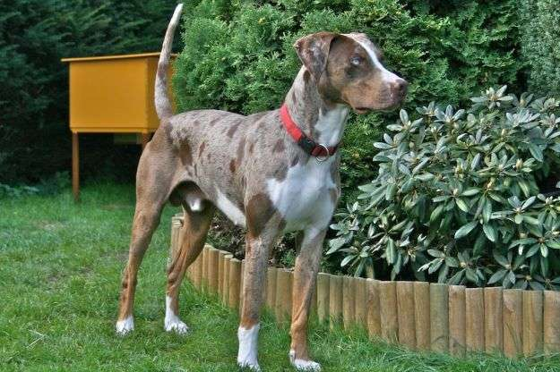 cani rarissimi Louisiana_Catahoula_Leopard_Dog