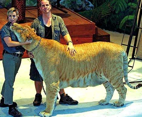 Hercules gatto gigante