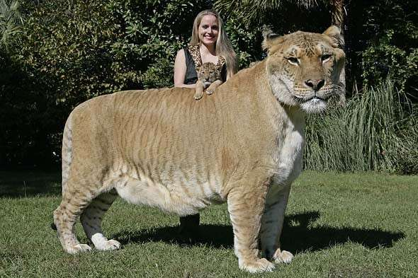 Hercules il liger