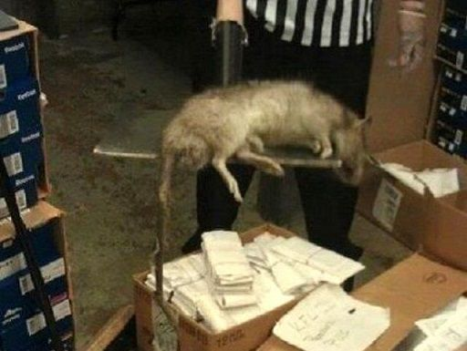 Ratto gigante in un negozio di New York: foto incredibile
